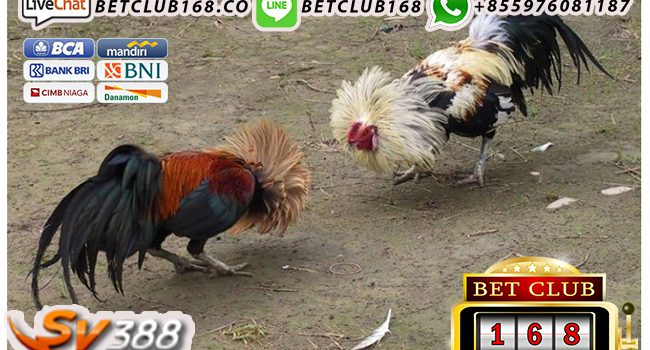 Video Ayam Sabung