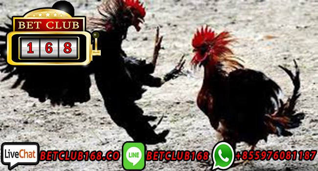 Live Streaming Adu Ayam 24 Jam
